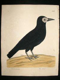 Albin: 1730's Hand Colored Bird Print. Cornix Frugilega, The Rook